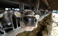 Milchbauern fordern EU-Programm gegen neue Krise