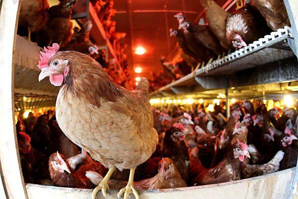 Alleine 853.000 Hühner müssen gekeult werden