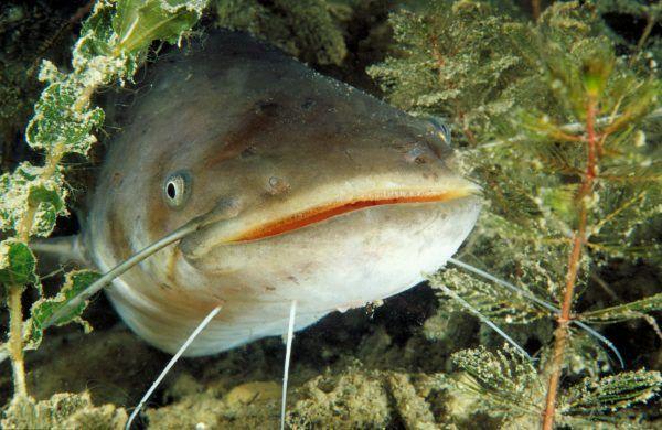 Für 2018 wurde der Wels zum Fisch des Jahres ernannt