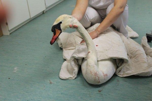 Der verletzte Schwan wurde beim WTV versorgt
