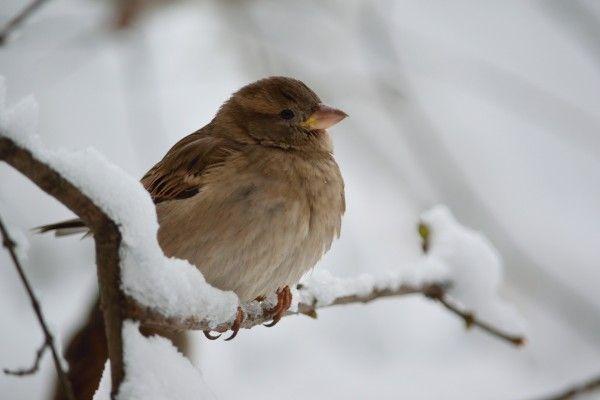 Spatzen gehören zu den meist gesichteten Vögeln im Winter