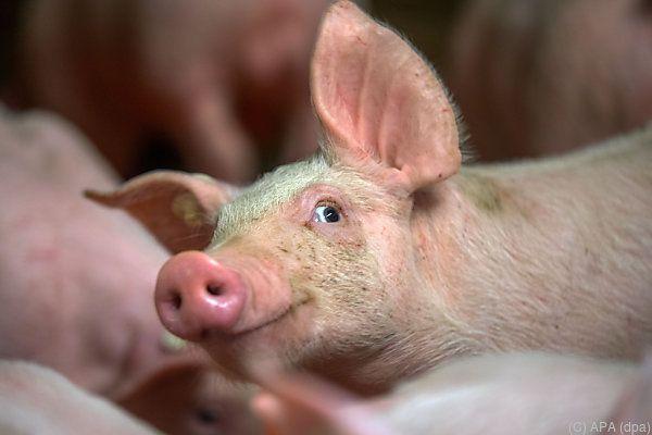 Rund ein Dutzend Schweine büxte aus