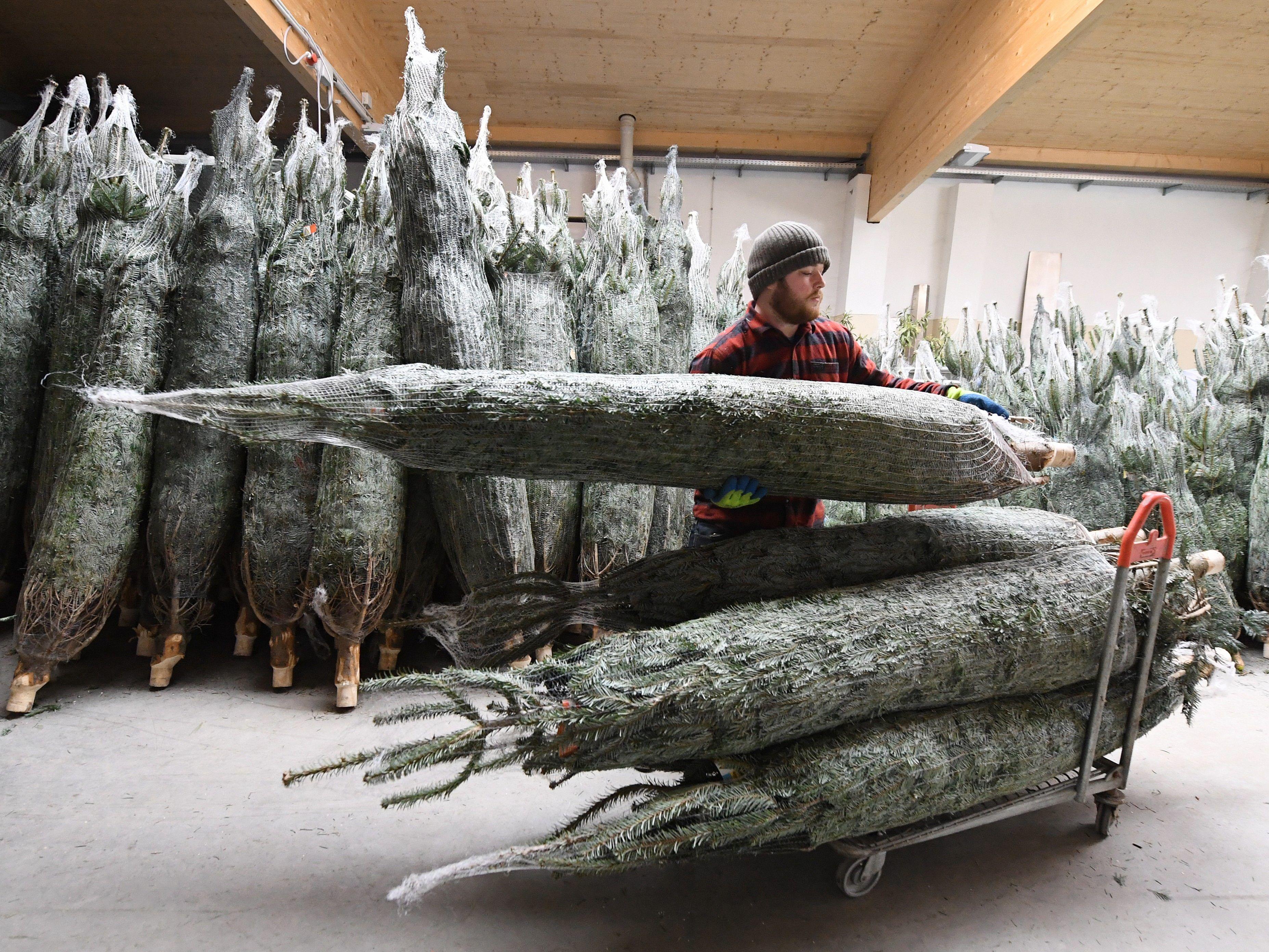 Wien Weihnachtsbaum Kaufen.Wiener Christbaum Verkauf Startet Am 12 Dezember Weihnachten In