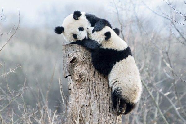 Sehr beliebt: Die Panda-Zwillinge Fu Feng und Fu Ban