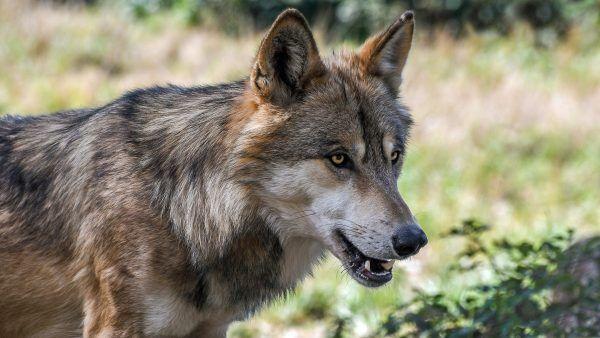Land und Landwirtschaftskammer übernehmen Entschädigungen für von Wölfen gerissene Nutztiere