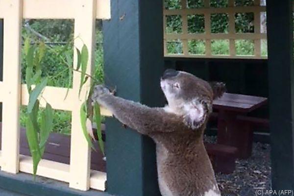 Koala im Brooloo Park bei Brisbane gefunden