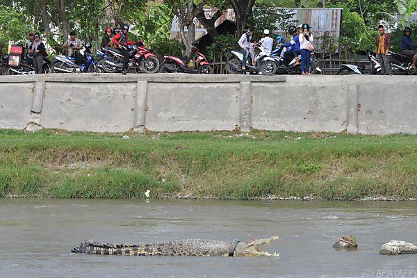 Der vom Krokodil unfreiwillig getragene Schwimmreifen soll weg
